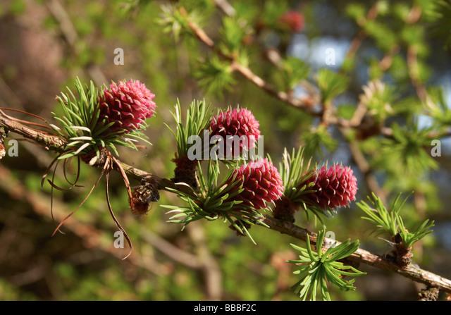 conifer-flowerspink-corn-bbbf2c.jpg