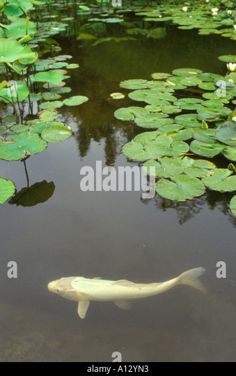 Coy Fish Stock Photos Coy Fish Stock Images Alamy