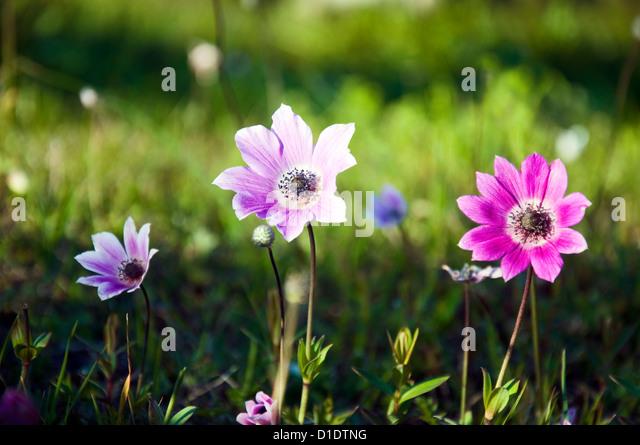 kronen anemonen stock photos kronen anemonen stock. Black Bedroom Furniture Sets. Home Design Ideas
