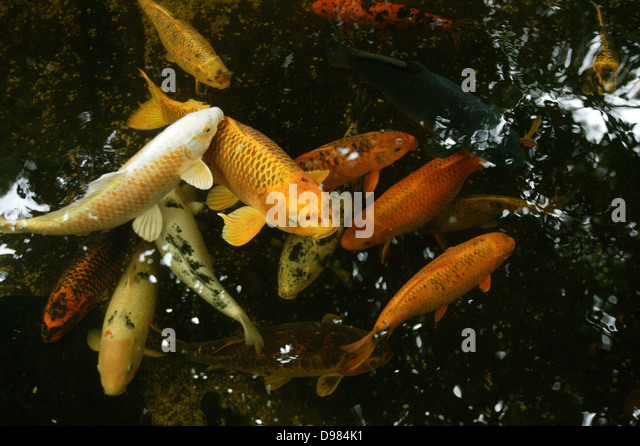 Koi fish pond stock photos koi fish pond stock images for Koi swimming