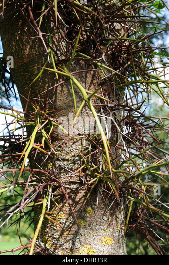 how to cut down a honey locust tree