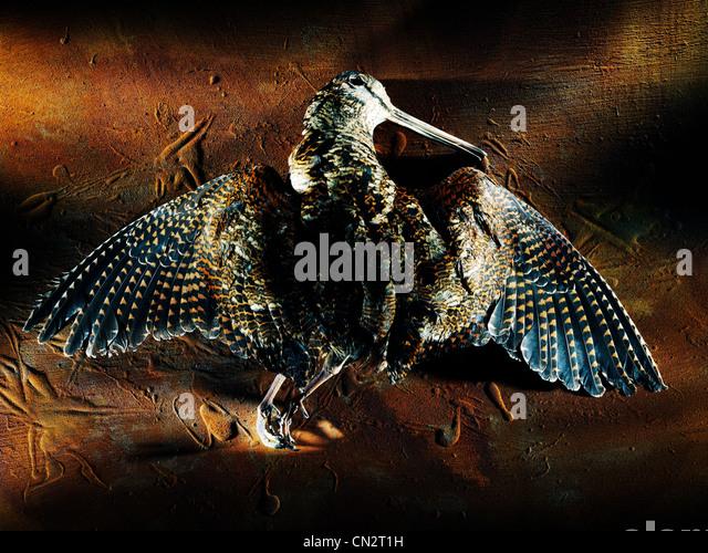 Woodcock Bird Stock Photos Amp Woodcock Bird Stock Images