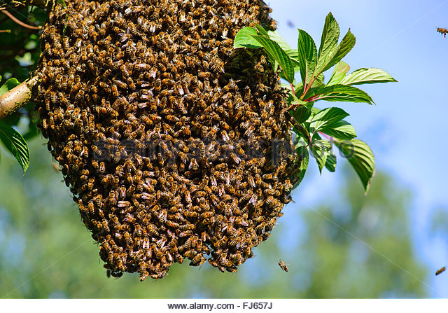 Honey Bee Hive In Tree - photo#40