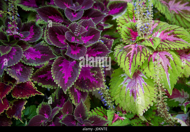 Coleus Plants Stock Photos Coleus Plants Stock Images Alamy