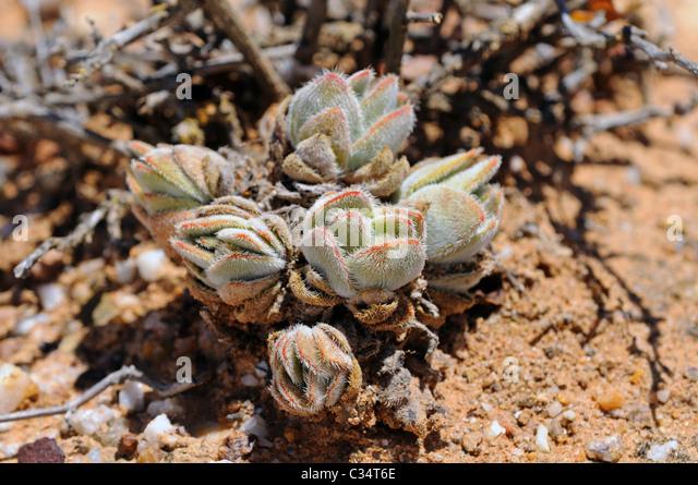 Succulent Karoo Stock Photos Amp Succulent Karoo Stock