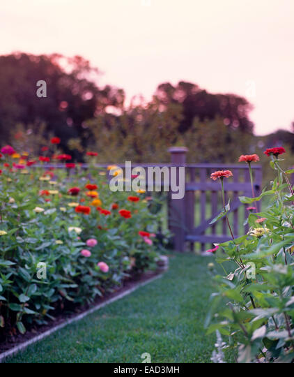 Zinnias In Garden At Sunset   Stock Image