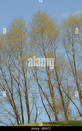 Poplar trees (Populus species) covered in freshly opened leaf buds in early April. Ticehurst, East Sussex, UK. - Stock Image