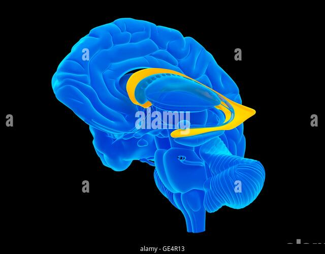 Female Corpus Callosum Brain Anatomy Blue Concept Stock Illustration