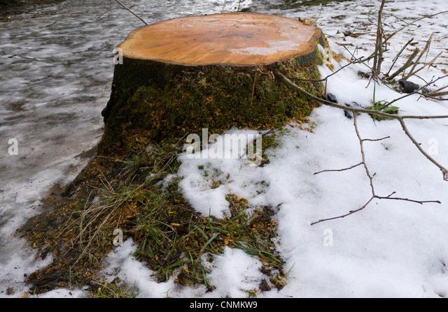 Cut tree stump stock photos amp cut tree stump stock images alamy