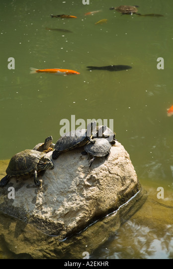 Coy Carp Water Stock Photos Coy Carp Water Stock Images Alamy