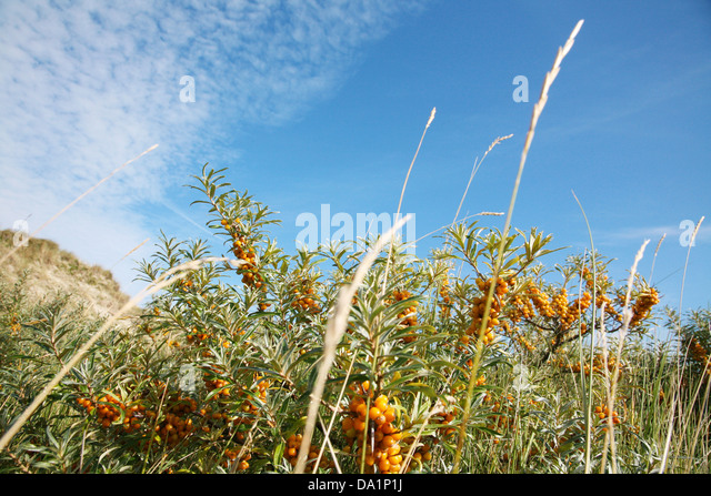 Sand thorn berries stock photos sand thorn berries stock images alamy - Growing sea buckthorn ...