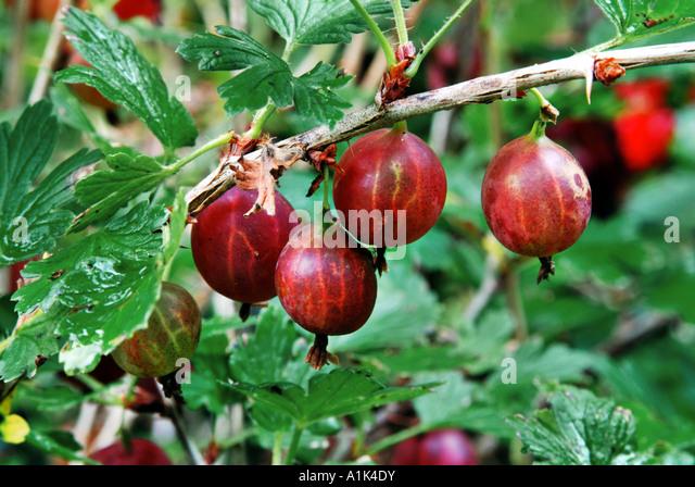 Резултат с изображение за Ribes uva-crispa 'Worcesterberry'