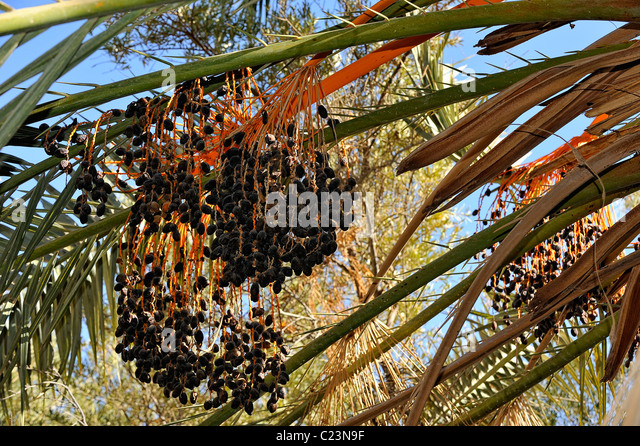 Oasis With Date Stock Photos Oasis With Date Stock