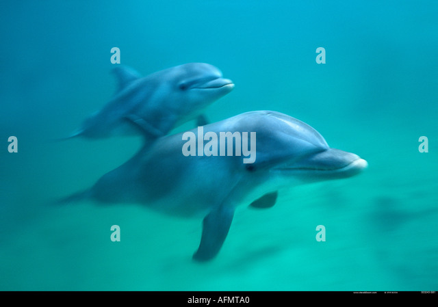 Bottlenose dolphins swimming underwater - photo#5