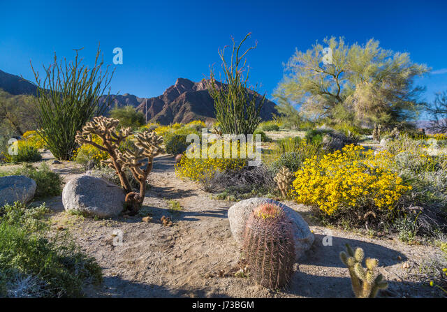 Wildflowers Blooming In Anza Borrego Stock Photos