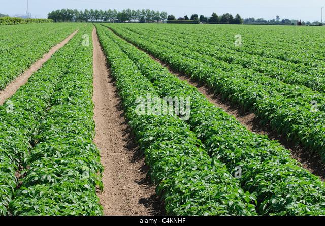 Potato Field Suffolk England Uk Stock Image