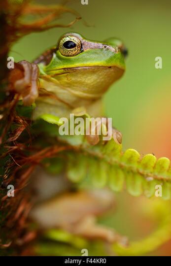 5 frogs aristocrat restaurant panorama