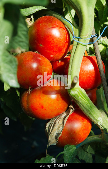 Bunch Of Tomatoes   Stock Image