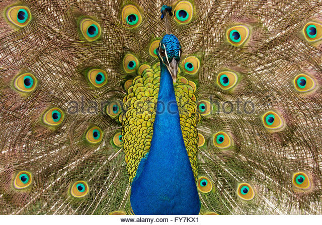 Face Eyes Photography Nature Peacocks Birds Colorful: Peacock Tail Feathers Stock Photos & Peacock Tail Feathers