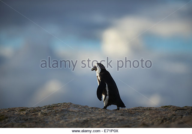 African Penguin, Boulders Beach, False Bay, South Africa - Stock Image
