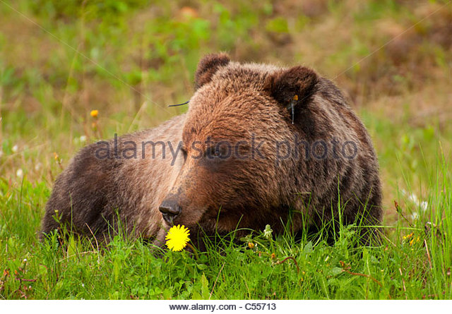 grizzly bear resting in - photo #19