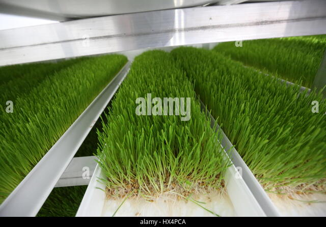 how to grow barley grass indoors