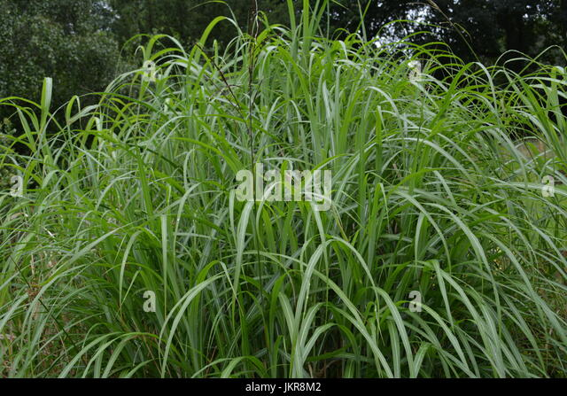 Ornamental grasses border grasses stock photos for Tall border grass