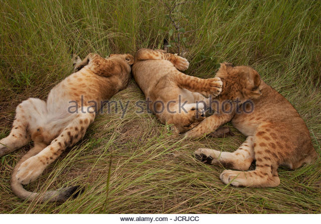 Three lion cubs, Panthera leo, mock fighting in tall grass. - Stock Image