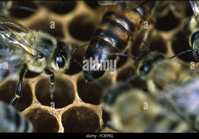 queen bee laying eggs - photo #33