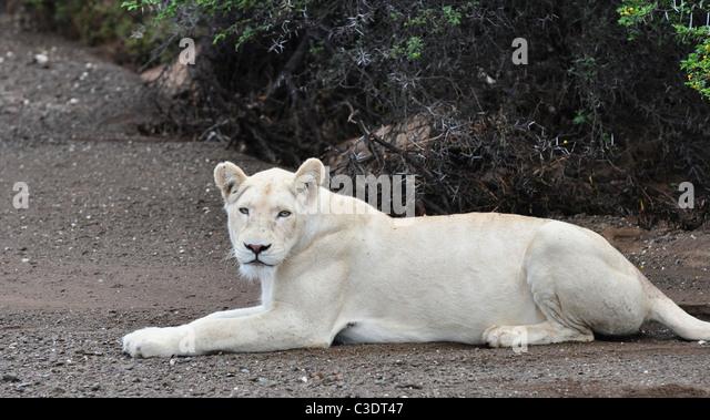 white lion blue eyes wild stock photos amp white lion blue