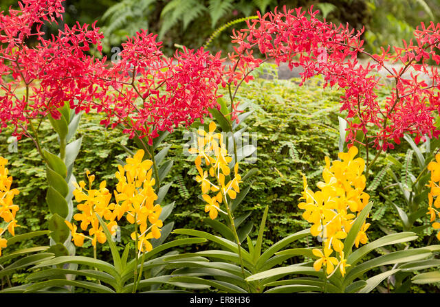 Colourful Orchids In The National Orchid Garden, The Singapore Botanic  Gardens, Singapore South East