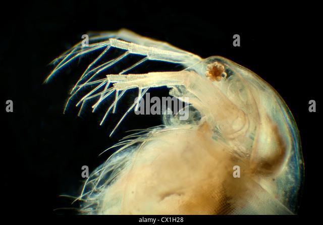 ... Photo - Daphnia longispina common water flea Water fleas (Cladocera