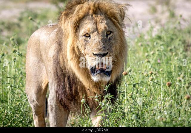 male lion walking towards camera stock photos amp male lion