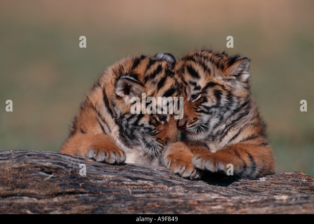 Tiger Cub Stock Photos & Tiger Cub Stock Images - Alamy