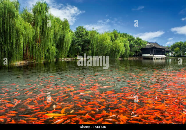 Carp pond stock photos carp pond stock images alamy for Large koi pool