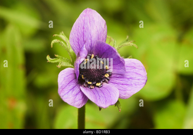 Purple marigold