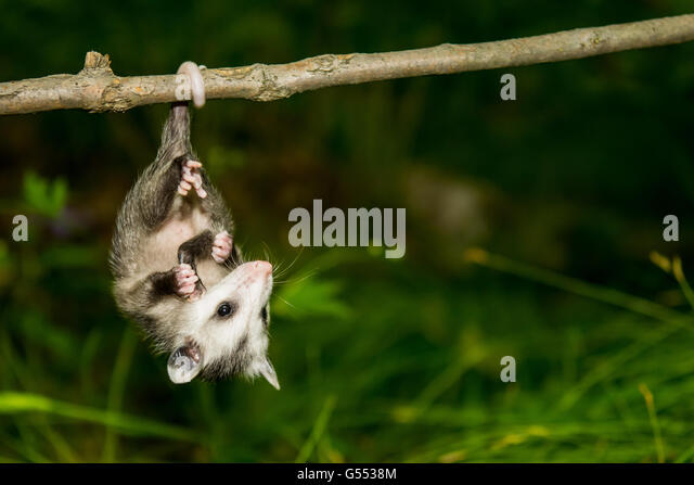 Opossum Hanging Upside Down