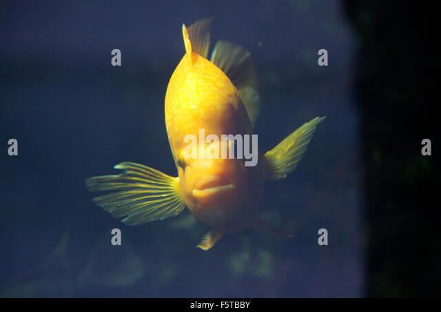 Goldfische stock photos goldfische stock images alamy for Koi mit goldfischen
