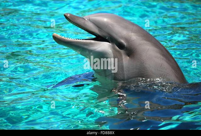 Bottle Nosed Dolphin Swimming Stock Photos & Bottle Nosed ...