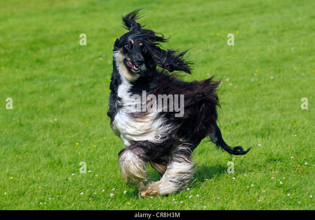 Coursing Stock Photos & Coursing Stock Images - Alamy Afghan Hound Lure Coursing