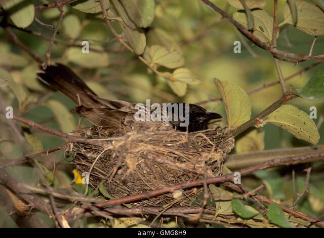 Bulbuls nest