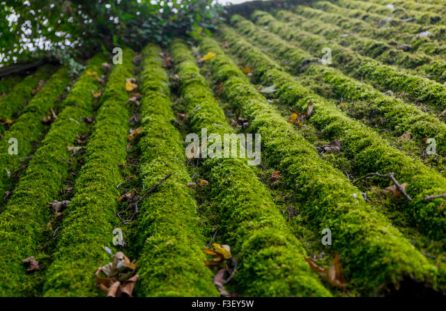 Superior Moss Growing On A Corrugated Farm Building Roof, England, Uk   Stock Image