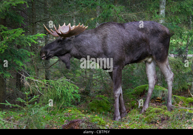 Detail Portrait Elk Moose Moose North Stock Photo 497884447 ...