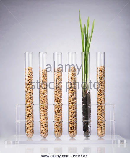 how to grow wheat inside