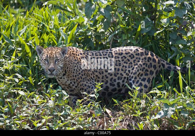 jaguar standing - photo #23