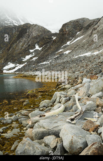 Huge whale ribs lie on the beach in Spitzbergen, a past feast for polar bears and foxes - Stock Image