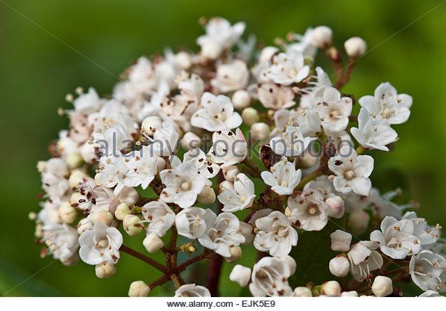 viburnum tinus laurustinus stock image