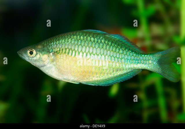 Melanotaenia stock photos melanotaenia stock images alamy for Dwarf rainbow fish