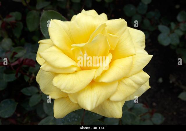 shrub rose thorn stock photos shrub rose thorn stock images alamy. Black Bedroom Furniture Sets. Home Design Ideas