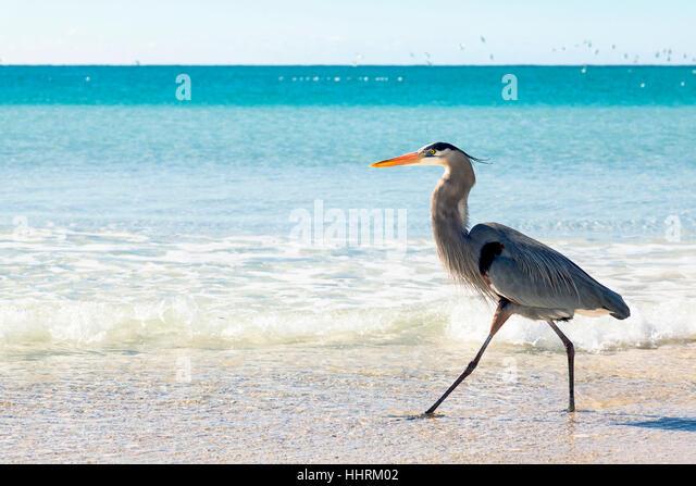 Blue Heron Panama City Beach Fl